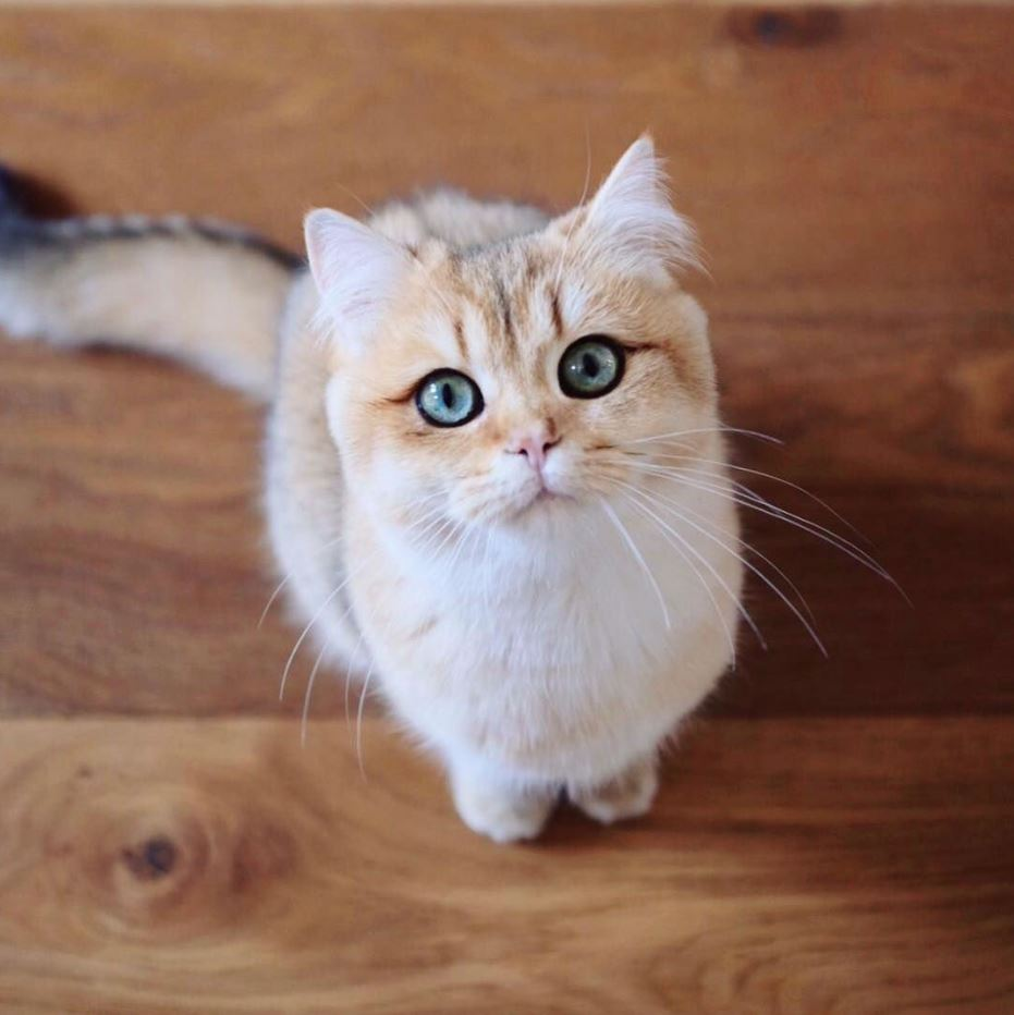 Chú mèo này có đôi mắt màu xanh khác biệt
