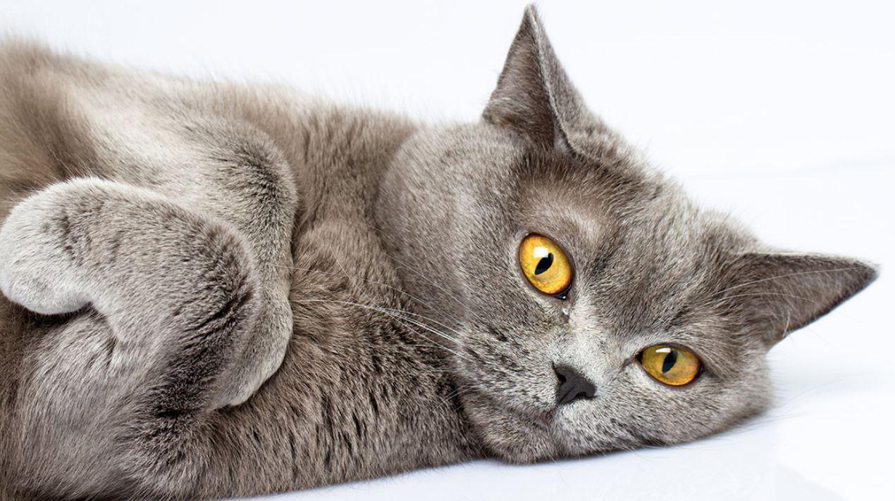 Lông xám và mắt vàng đồng là điểm thường gặp