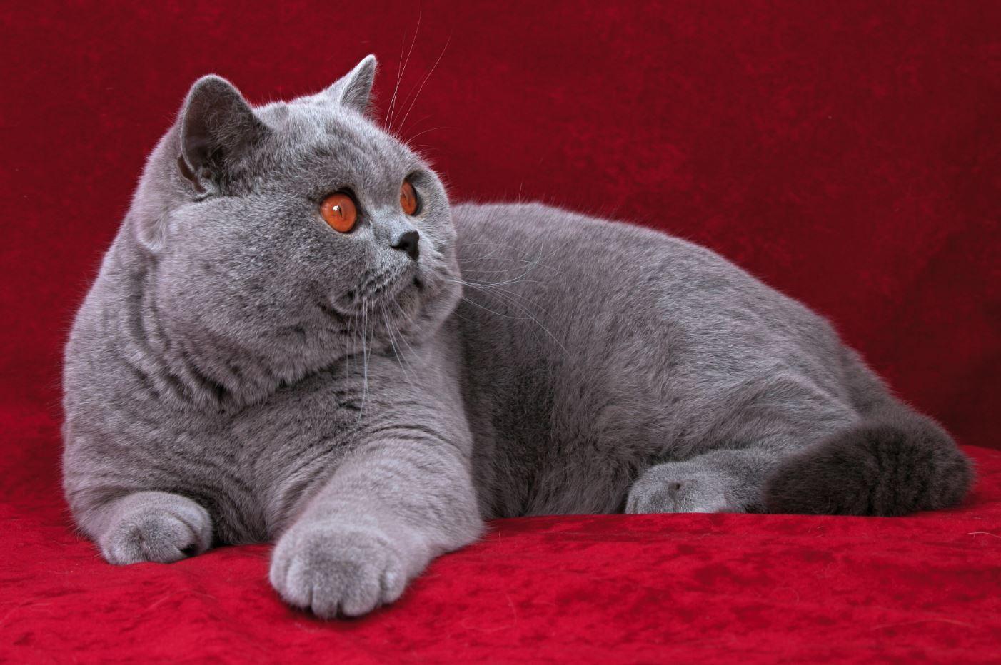 Mèo Anh lông ngắn thường khá mũm mĩm