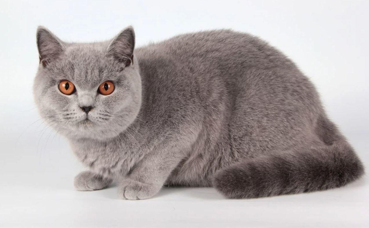 Một chú mèo Anh lông ngắn có đôi mắt cam đậm