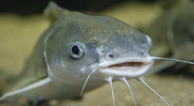 Mơ thấy cá trê đánh con gì, là điềm báo gì?