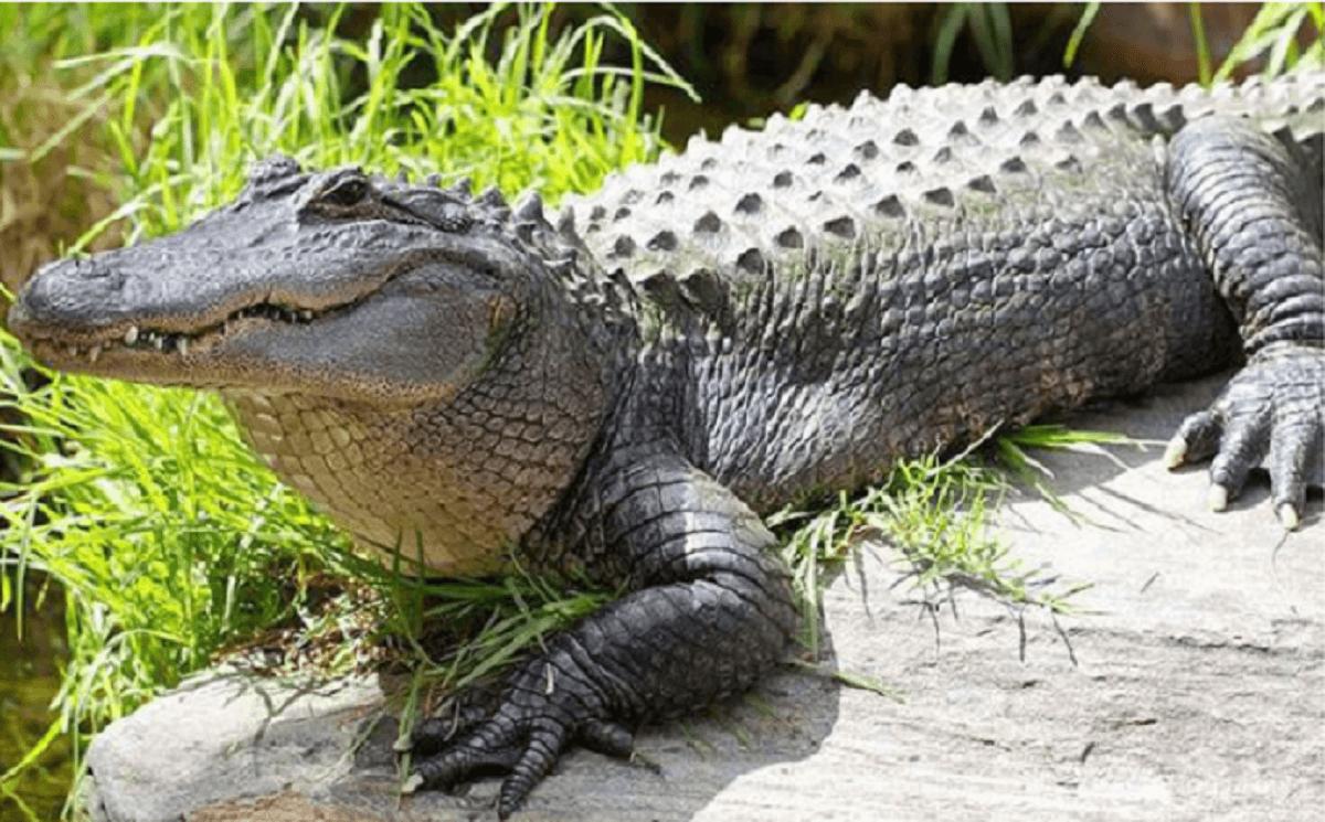 Mơ thấy cá sấu đánh con gì số mấy, là điềm báo gì ?