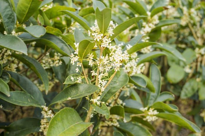 Quế chi là loại cây nổi tiếng, được dùng nhiều trong y học cổ truyền