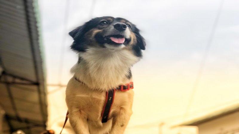 Hình 1: Chó bị dại thể điên cuồng thường có dấu hiệu bứt rứt, lo lắng