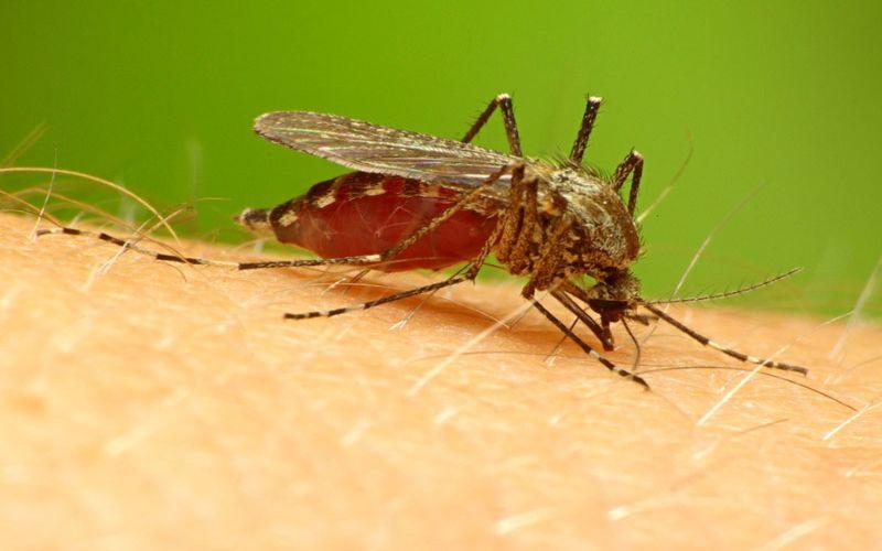 Hình 1: Sốt rét do ký sinh trùng Plasmodium truyền từ muỗi Anophen