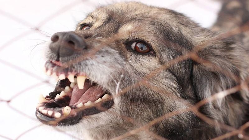 Hình 2: Chó bị dại có thể gào rú, có những cử động mạnh không kiểm soát