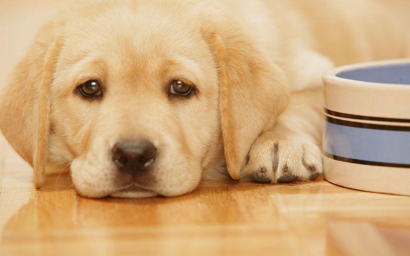 Hình 2: Dấu hiệu chó sắp đẻ có thể ăn ít, chán ăn hoặc không ăn