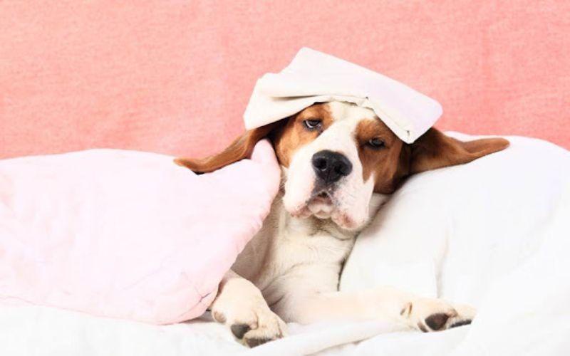 Hình 4: Chó sắp đẻ có thân nhiệt thấp hơn bình thường