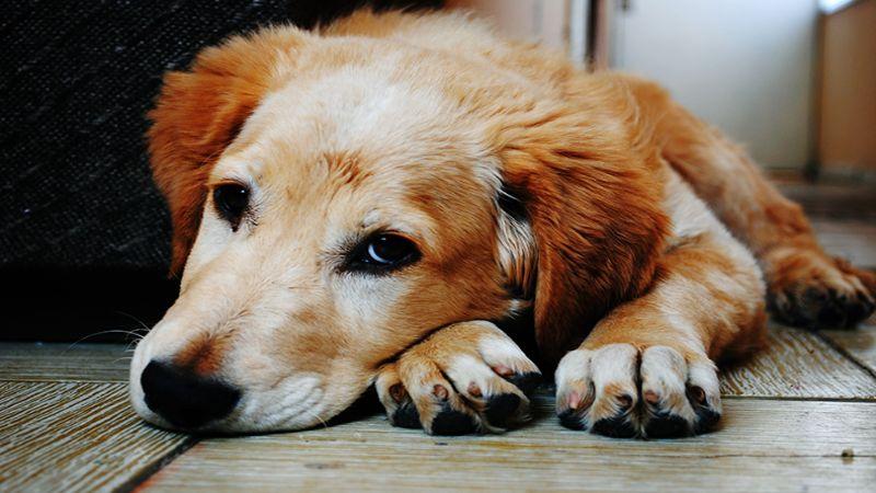 Hình 4: Dấu hiệu chó bị dại thể bại liệt thường buồn, ủ rủ, không cắn, không sủa được