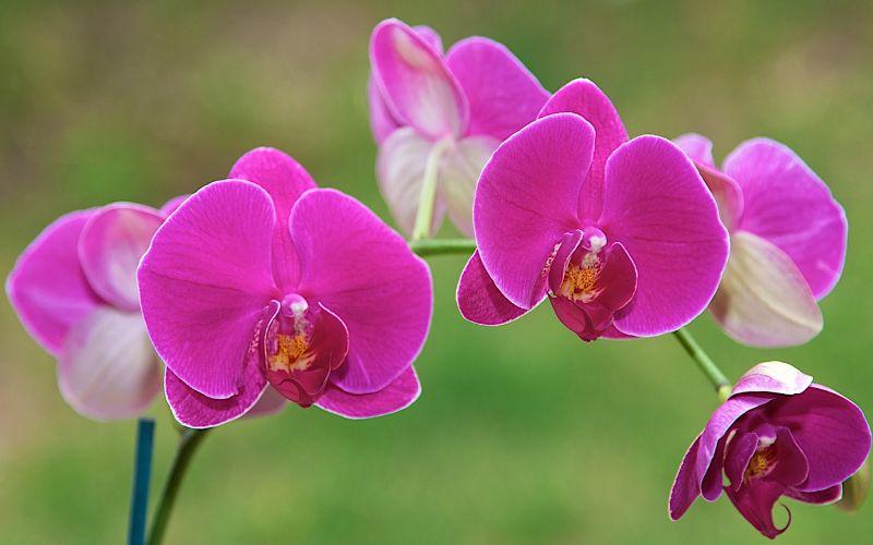 Top 3 dấu hiệu lan hồ điệp ra hoa quan sát bằng mắt thường