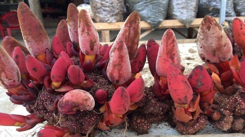 Hình 3: Nấm ngọc cẩu
